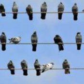 چرا پرندگانی که روی یک سیم برق می نشینند دچار برق گرفتگی نمی شوند؟